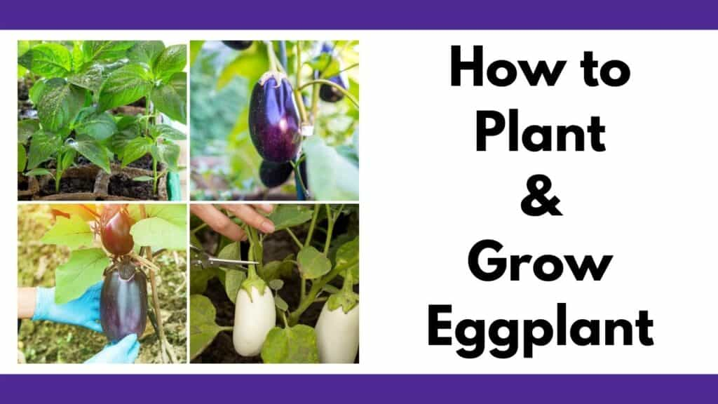 """Text """"how to plant and grow eggplant"""" next to a 2x2 grid of photos with eggplant seedlings, young eggplant fruit, a large ripe purple eggplant, and a white eggplant being harvested"""