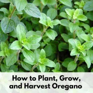 "A close up of a growing oregano plant with text overlay ""How to Plant, Grow, and Harvest Oregano"" across the bottom"