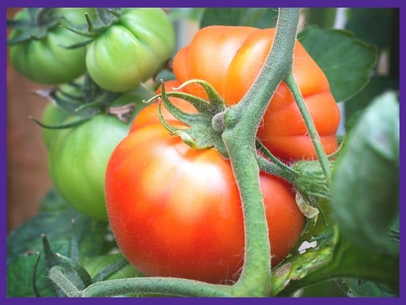 A very large ripe tomato on a vine with a dusting of light yellow/green on top.