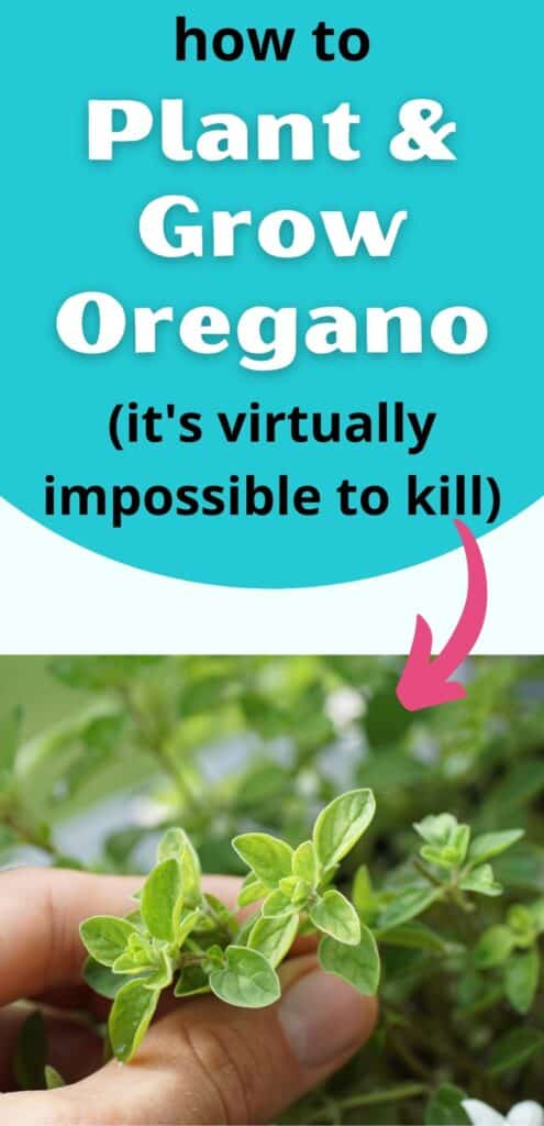 """text """"how to plant and grow oregano (it's virtually impossible to kill)"""" above a photo of a person's thumb and index finger holding fresh oregano."""