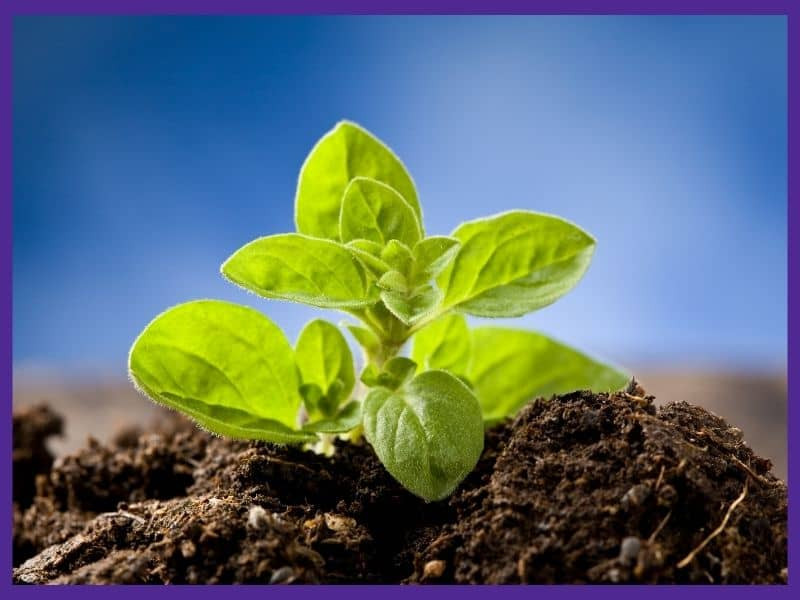 A close up of a small oregano seedling growing out of rich soil