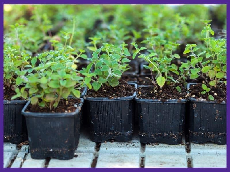 Five small oregano seedlings in individual black plastic pots