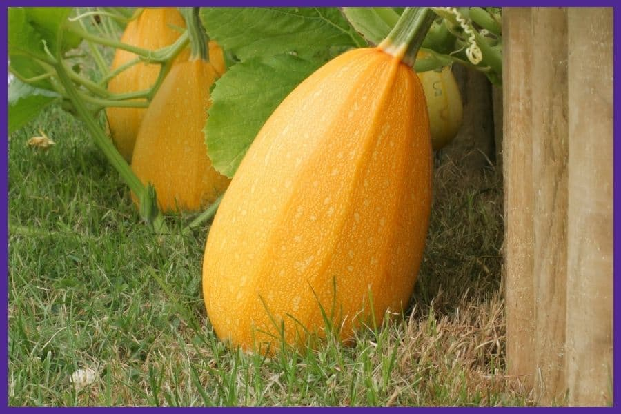 Three large, ripe spaghetti squash sitting on grass next to wood boards from a raised bed
