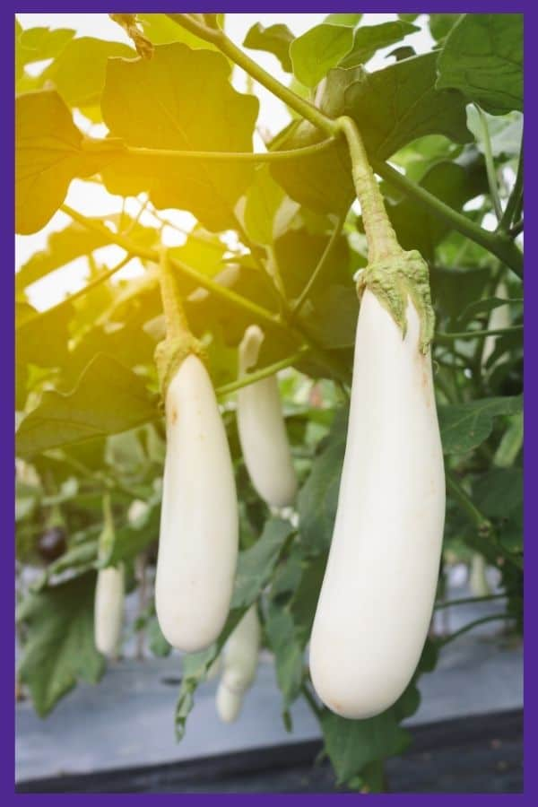 Long white eggplant growing on a vine with golden sunlight behind the plants