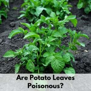 "Text overlay ""are potato leaves poisonous?"" at the bottom of an image of a potato plant growing in rich, dark soil"