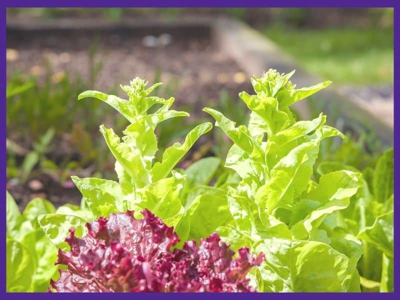 Two bolting green lettuce plants. A red lettuce plant is visible in the foreground