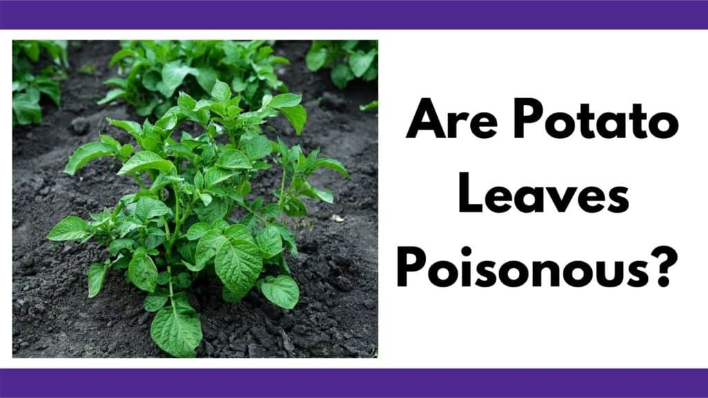 """Text """"are potato leaves poisonous?"""" next to an image of a small potato plant growing in rich soil"""