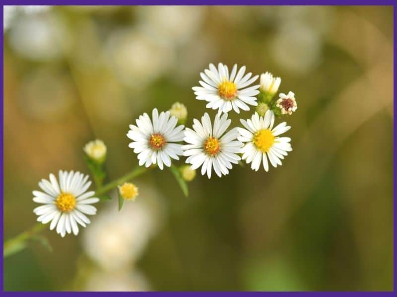 A close up image of six growing chamomile blossoms. Chamomile looks like a small yellow and white daisy.