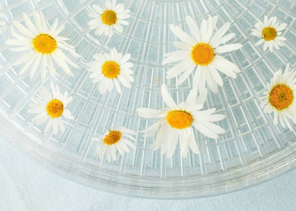 White chamomile flowers on a clear dehydrator tray that's resting on a light blue surface.