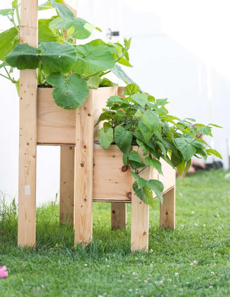"""Gourds and bush beans growing in a raised, two tier planter box made from 2x4s and 12"""" pine boards."""