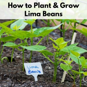 """Text overlay """"how to plant and grow lima beans"""" on top of a close up image of lima bean seedlings in a raised bed"""