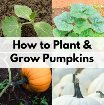 "text overlay ""how to plant and grow pumpkins"" over a 2x2 grid of images with: a pumpkin seedling, a pumpkin blossom, a pumpkin in the field, and a stack of white pumpkins"