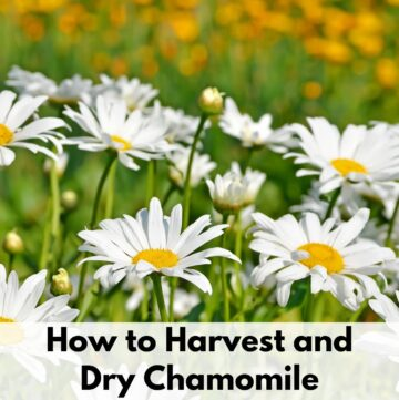 "Text overlay ""How to Harvest and Dry Chamomile"" at the bottom of a sunny field of blooming chamomile"
