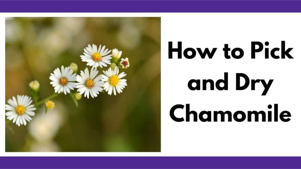 """Text """"how to pick and dry chamomile"""" next to an image with close up image of six growing chamomile blossoms. Chamomile looks like a small yellow and white daisy."""