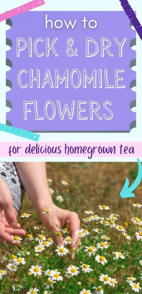 """Text """"how to pick and dry chamomile flowers for delicious homegrown tea"""" above an image of a woman's hands picking chamomile"""