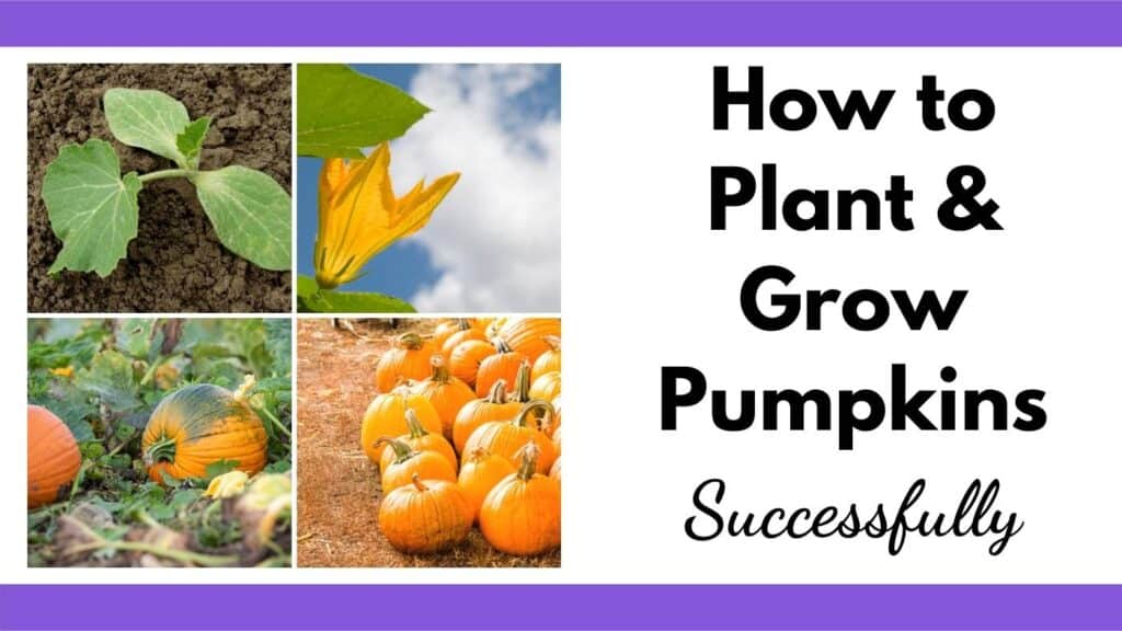 """text """"how to plant and grow pumpkins successfully"""" next to a 2x2 grid of images with: a pumpkin seedling, a pumpkin blossom, a pumpkin in the field, and a stack of orange pumpkins"""