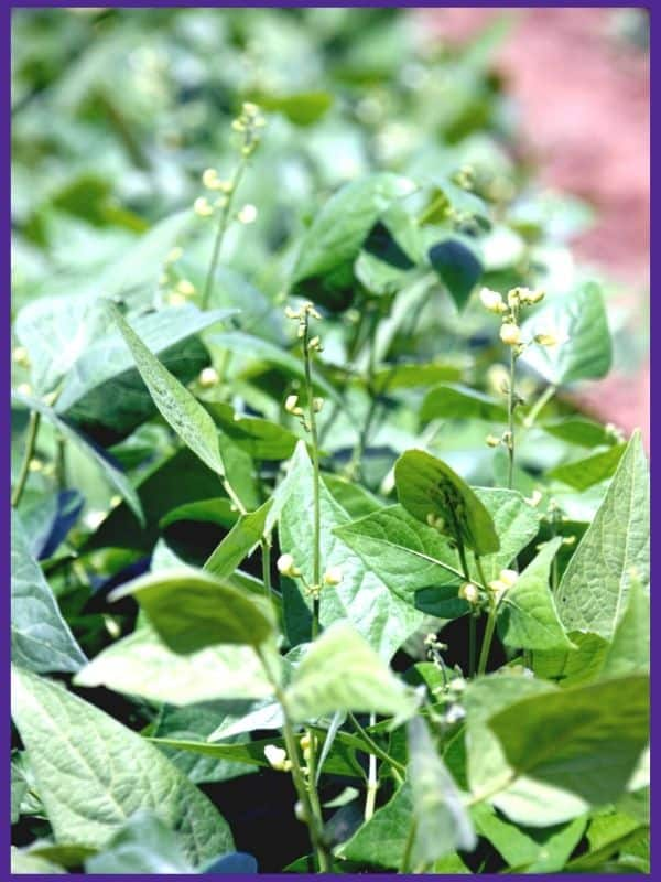 A close up of flowering lima bean plants