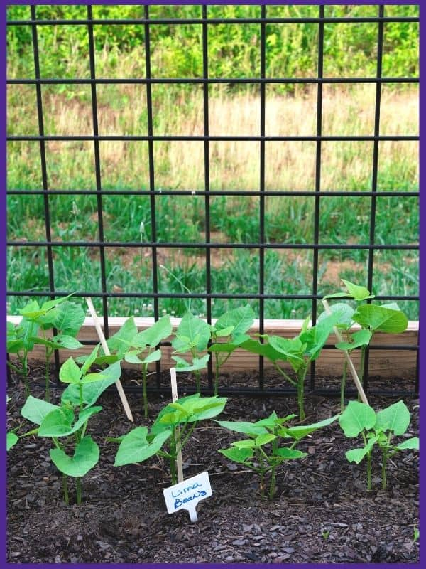 Lima bean seedlings in a raised bed with a metal trellis in the background