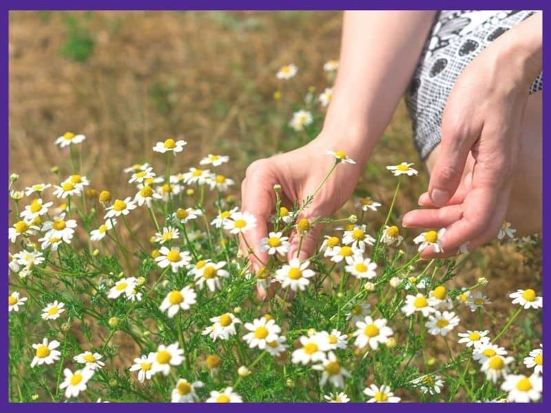 A pair of woman's hands picking a chamomile flower from a patch of blossoming chamomile