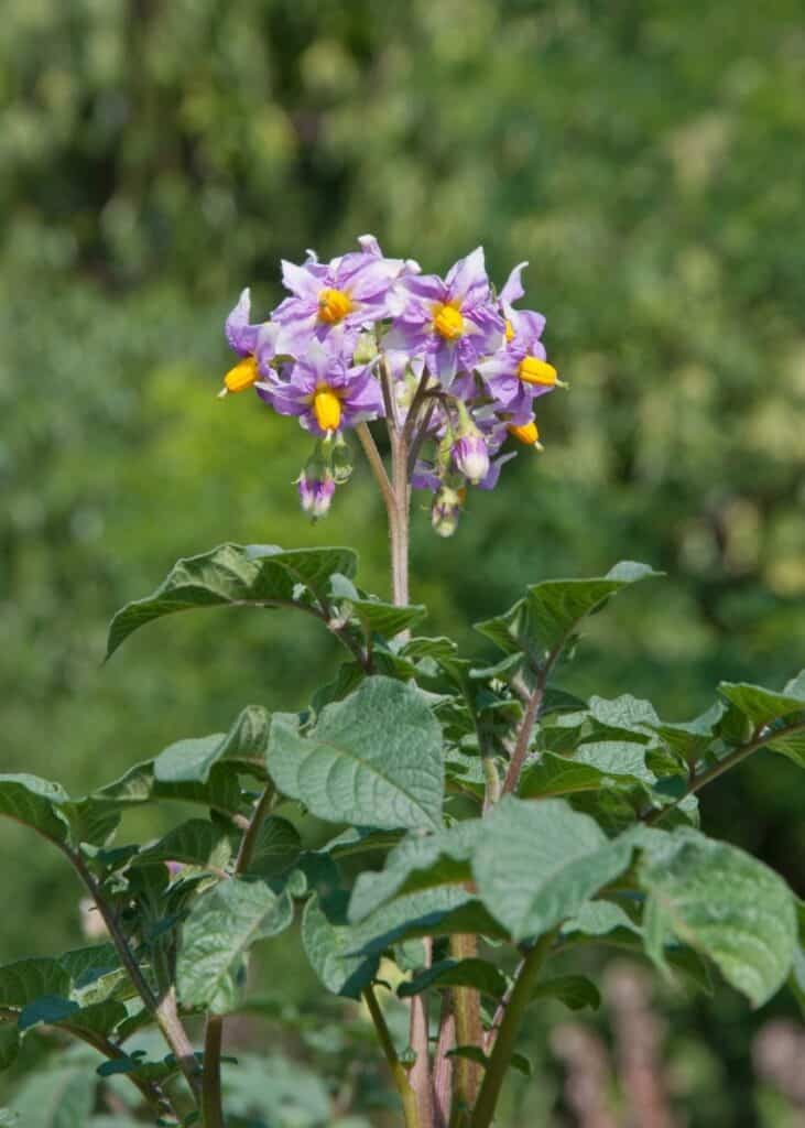 A close up image of a flowering potato plant with purple flowers. Potato plants look similar to tomatoes, and potato flowers look similar to tomato flowers.