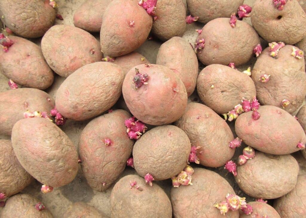 A pile of sprouted red potatoes. Potatoes have green and pink sprouts and wrinkled skins.