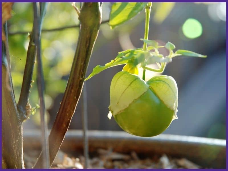 A ripe and ready to harvest tomatillo on the vine. The tomatillo husk is splitting to reveal the fruit inside