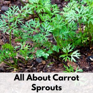 """Text overlay """"all about carrot sprouts"""" on the bottom of an image of young carrot sprouts in the ground"""