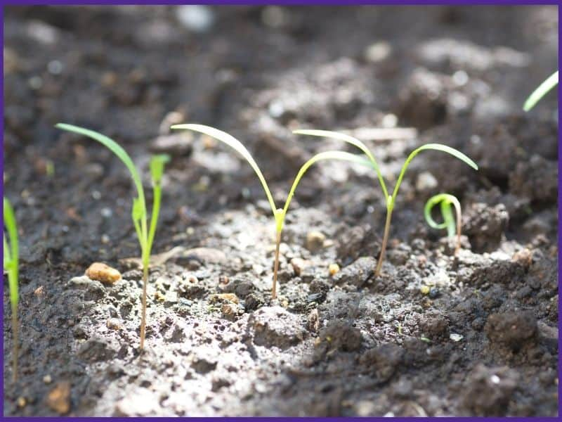 A close up of five young carrot seedlings with thing, grass-like seed leaves