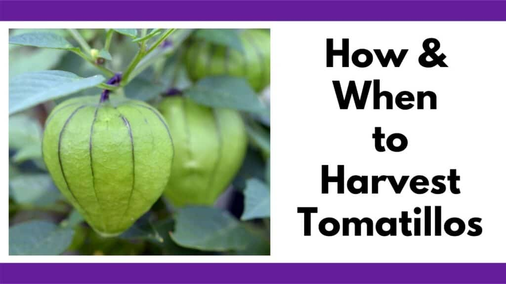 """Text """"how and when to harvest tomatillos"""" next to an image of three tomatillos on the vine"""