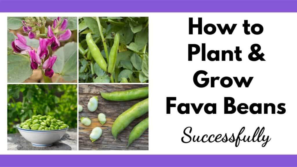 """Text """"How to plant & grow fava beans successfully"""" next to a 2x2 image grid of fava beans"""