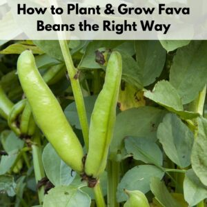 """text """"how to plant and grow fava beans the right way"""" over a close up image of a fava bean plant with two large pods ready to harvest"""