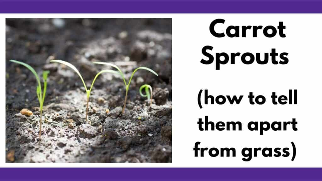 """Text """"carrot sprouts (how to tell them apart from grass"""" next to an image of four young carrot sprouts with seed leaves"""