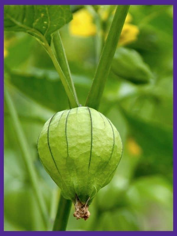 A tomatillo husk on a tomatillo vine