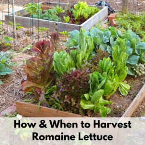 """text overlay """"how and when to harvest romaine lettuce"""" over an image of a raised bed with romaine and red leaf lettuce"""