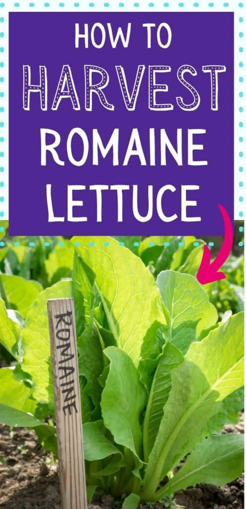 """Text overlay """"how to harvest romaine lettuce"""" with a pink arrow pointing at a young romaine lettuce plant growing in the garden."""