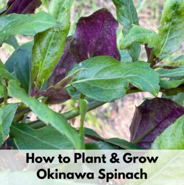 """Text overlay """"how to plant and grow Okinawa spinach"""" over a close up photo of bicolored Okinawa spinach leaves with green tops and purple bottoms"""