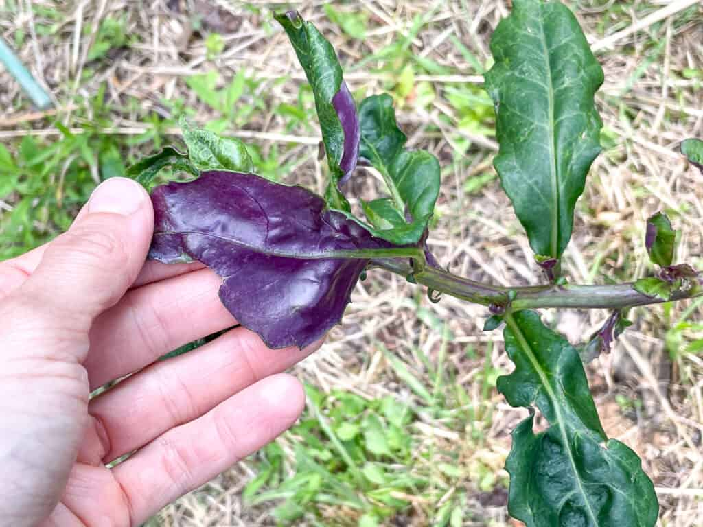 A close up of a person's hand turning over an Okinawa spinach leaf to show the bright purple lower face