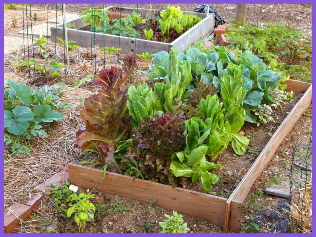 A picture of a wood raised bed filled with lettuce ready to harvest.
