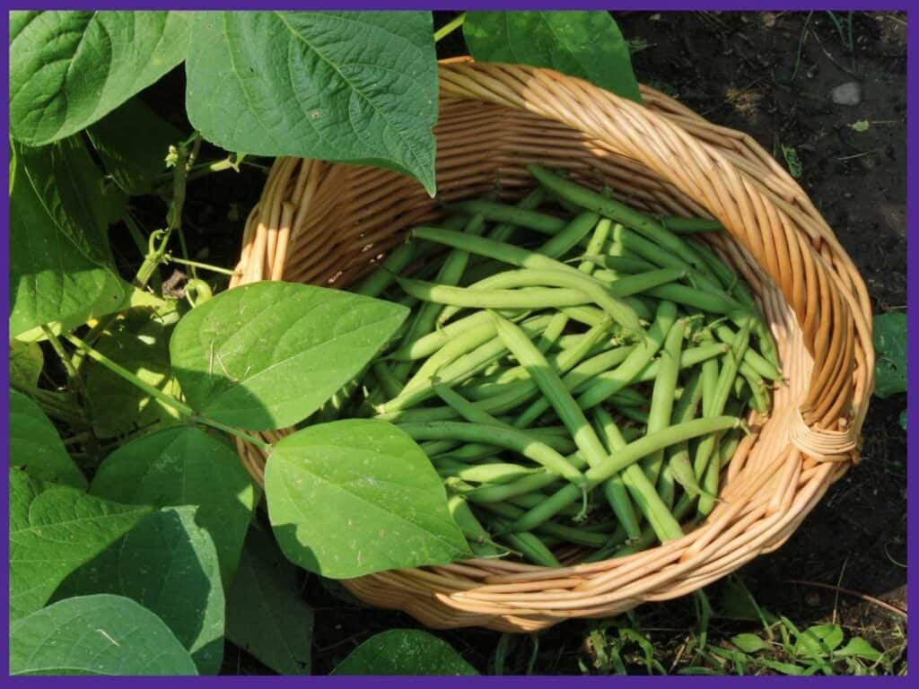 A top down view of a partially full woven basket with green beans