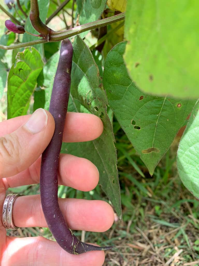 """A hand holding a plump purple """"green"""" bean that's ready to pick"""