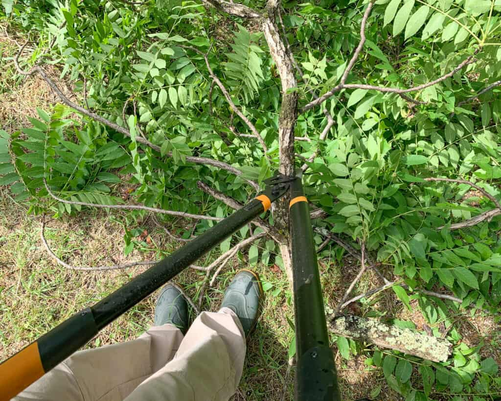 a top down view of a pair of black heavy duty loppers being used on a walnut tree
