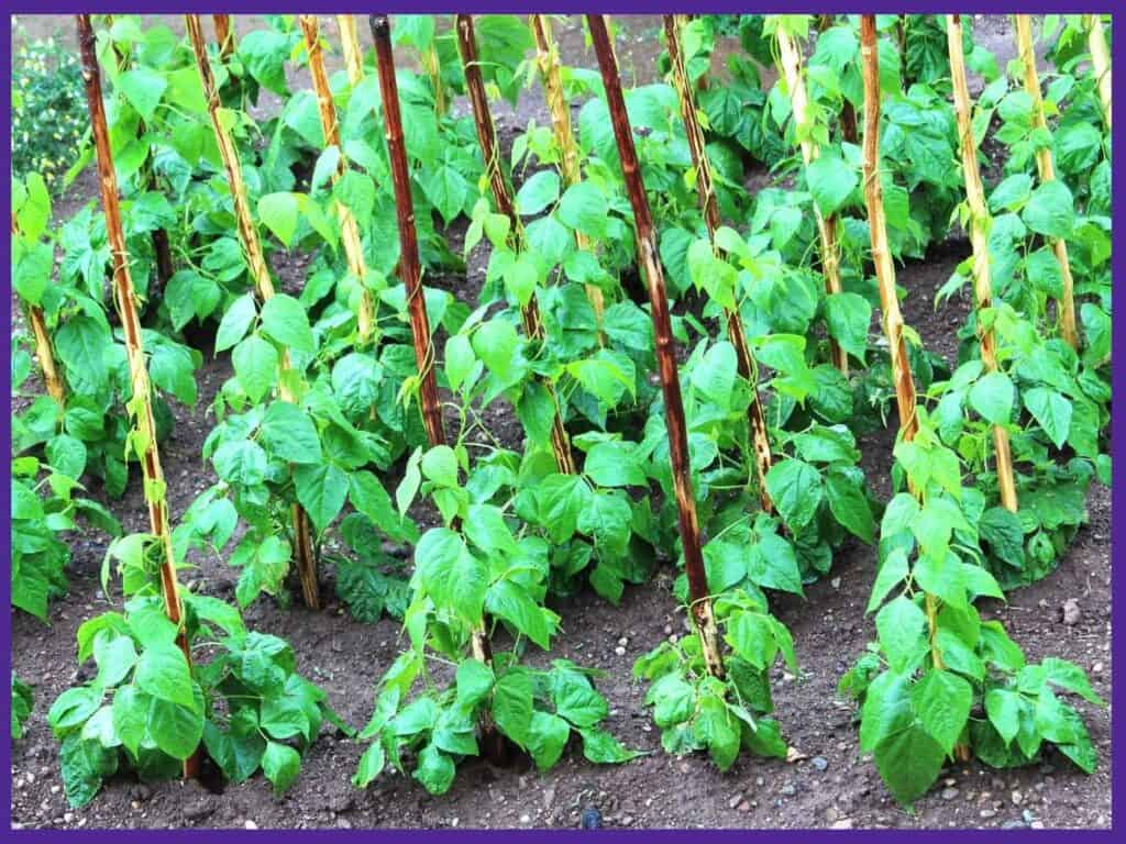 Rows of green bean plants growing up poles