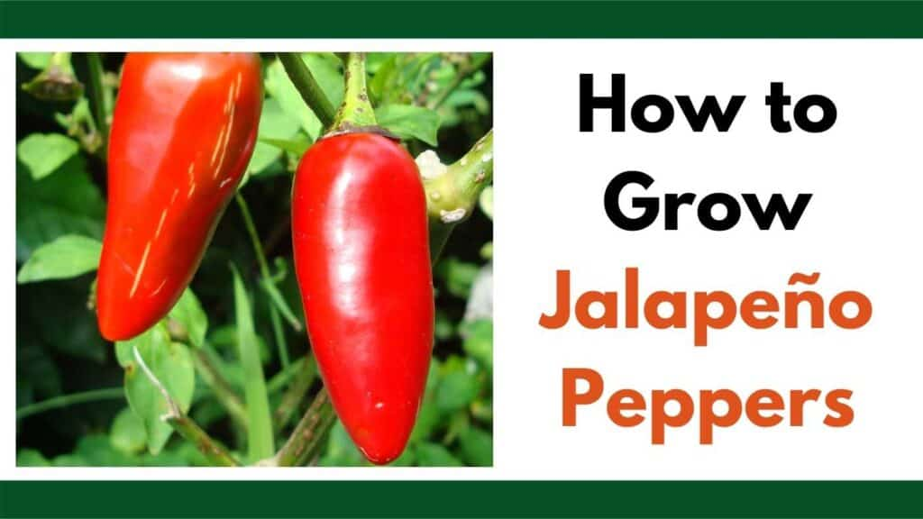 """Text """"how to grow Jalapeño peppers"""" next to an image of a pepper plant growing."""