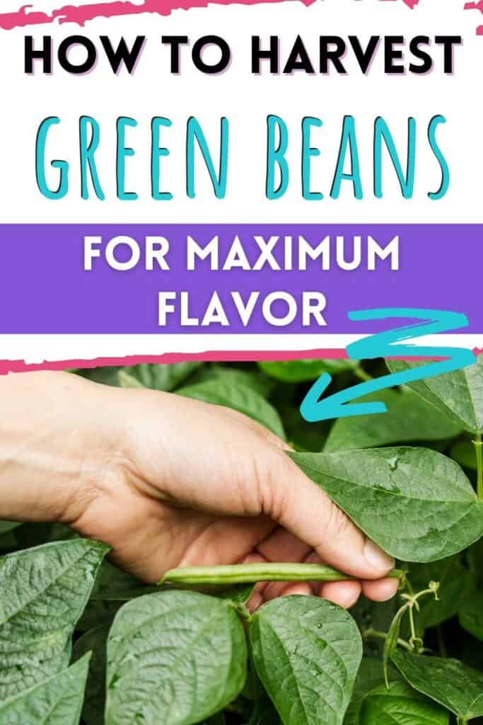 """text """"how to harvest green beans for maxiumum flavor"""" above a picture of a hand picking a ripe green bean"""