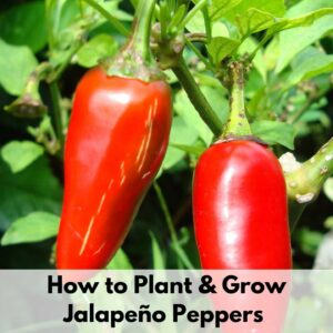 """Text overlay """"how to plant and grow jalapeno peppers"""" over an image of two ripe, red jalapeno peppers"""