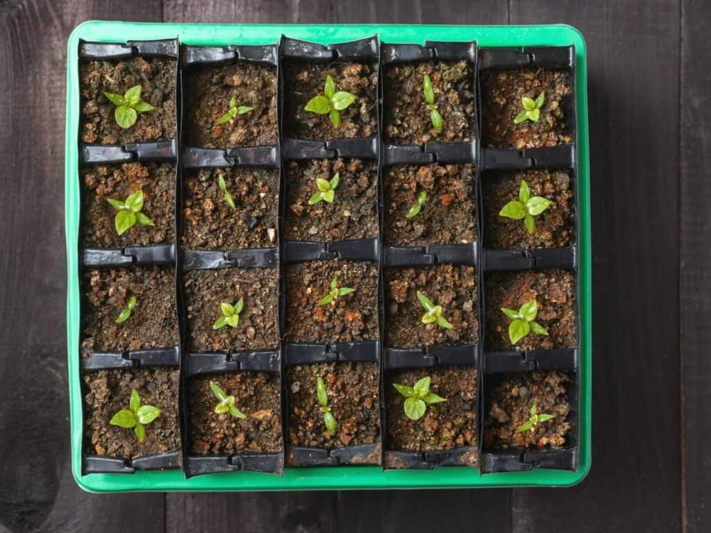 A top down view of a tray of newly sprouted pepper plant seedlings