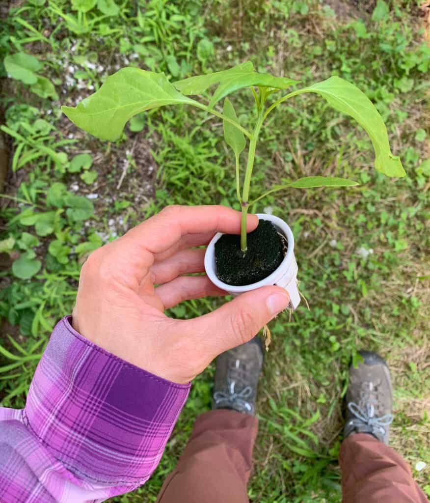A woman's hand holding a small pepper plant seeding. The seedling is in a white hydroponic grow cup.