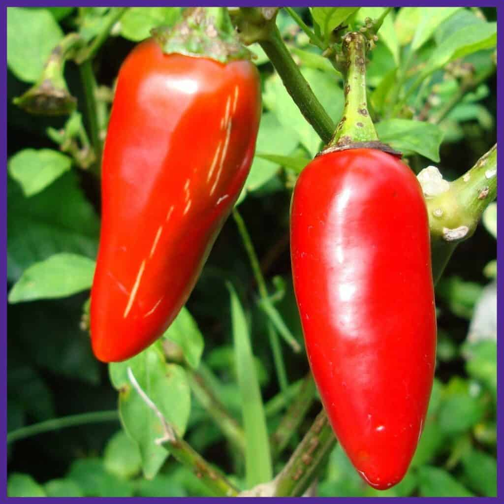 Two red jalapeño peppers on a plant