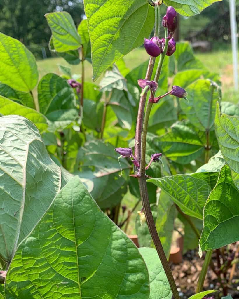 A close up view of a bean plant with tiny beans visible at the base of purple flowers