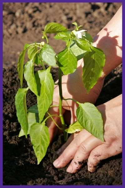 """Hands transplanting a young pepper plant into the soil. The plant is about 8"""" high and already has a couple of flowers."""